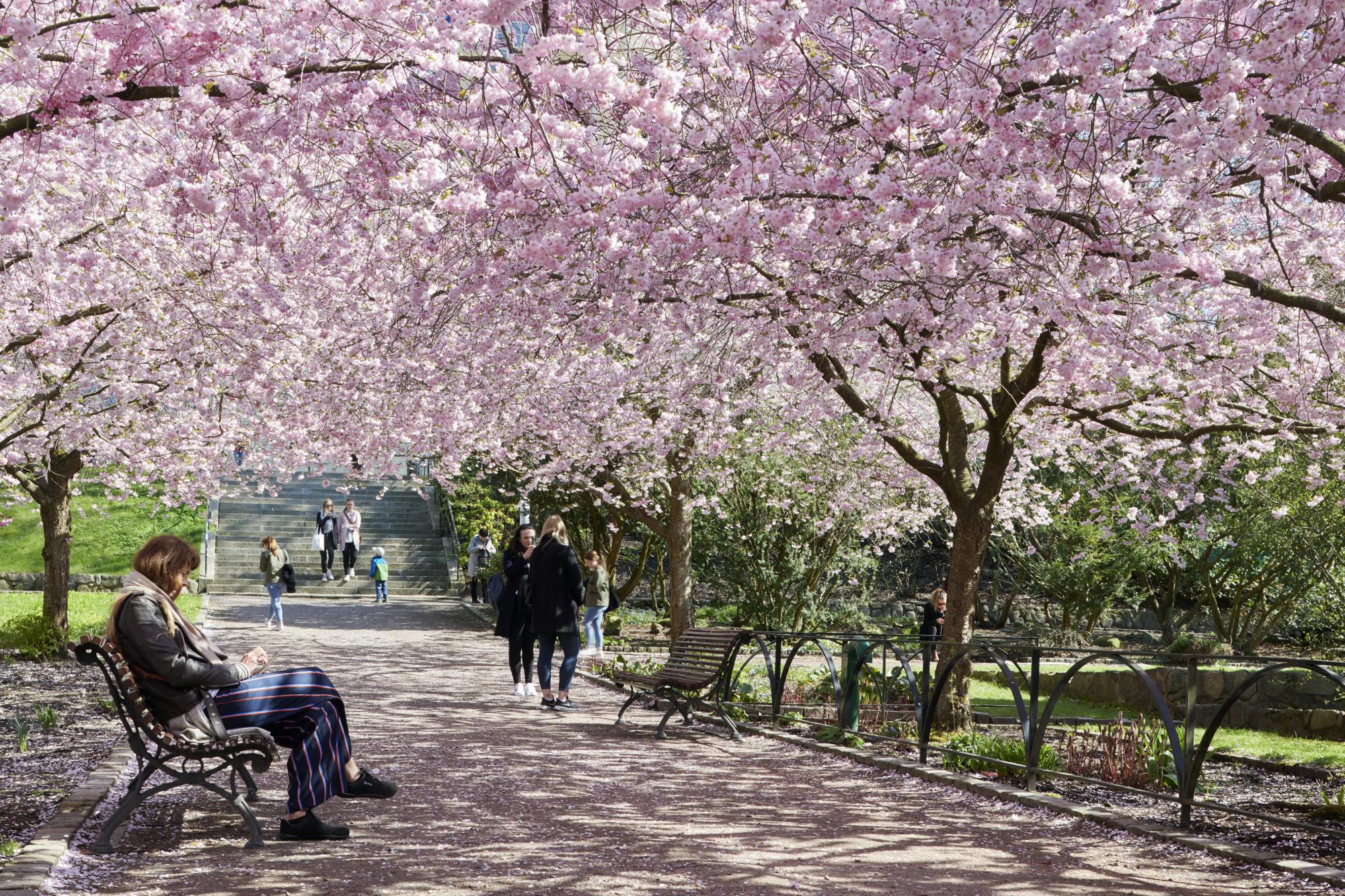 Seminarieparken med blommande körsbärsträd