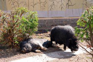 Ett hängbukssvin vilar på marken medan ett annat hängbukssvin står bredvid.