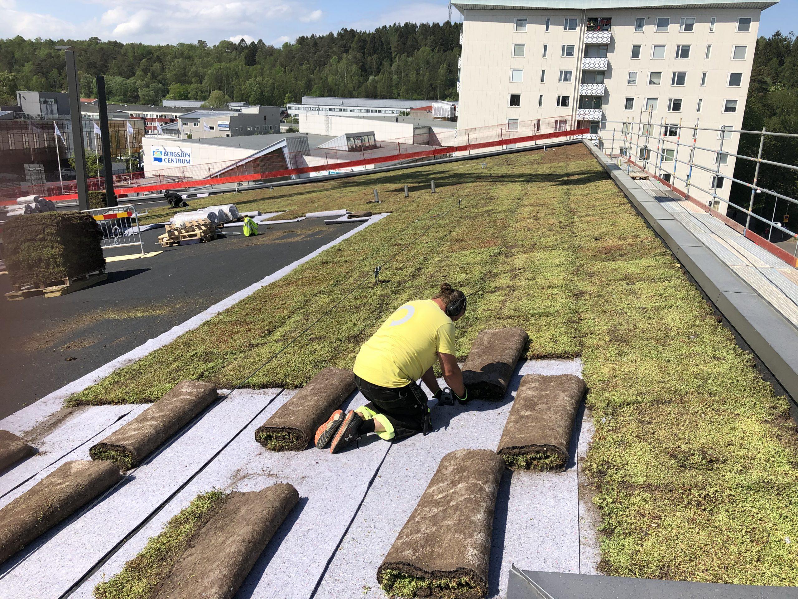 En man lägger ut rullar med sedumväxter på ett tak