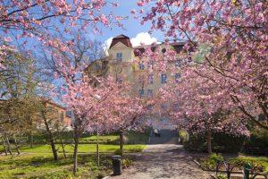 Körsbärsblommande träd, grusgång och gräsmattor i Seminarieparken
